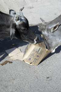 Two cows are feeding on carton