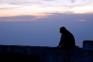 Macaque sitting on a wall watching the sun set